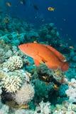 grouper коралла Стоковые Изображения