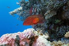grouper коралла Стоковое Фото