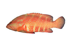 grouper коралла Стоковое фото RF