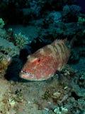 grouper коралла Стоковые Изображения RF
