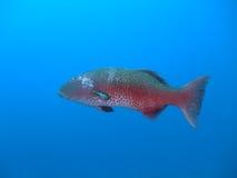 grouper коралла Стоковые Фотографии RF