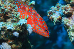 Grouper коралла задний Стоковые Фотографии RF