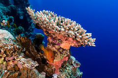 Grouper под трудным кораллом и тропической стеной кораллового рифа Стоковое фото RF