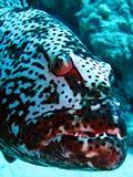 grouper Стоковое Фото