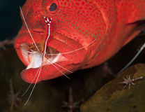 Grouper. Cleaning station with shrimp cleaning grouper stock photos