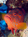 Grouper Royalty Free Stock Photos
