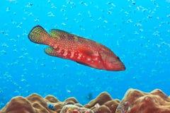 Grouper Stock Photo