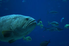 Grouper Stock Image