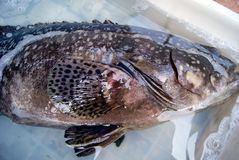 Grouper Stock Images