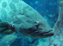 Grouper Royalty Free Stock Photo