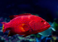 Grouper Royalty Free Stock Image