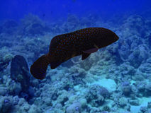 Grouper. Close-up.Red sea royalty free stock photos