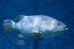 Grouper Zdjęcie Royalty Free