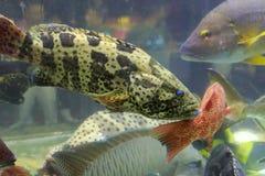 grouper Стоковое фото RF
