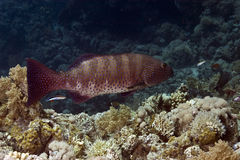 Grouper. Taken in Na'ama Bay Stock Photo