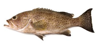 Grouper. A popular sea fish with many species Royalty Free Stock Image
