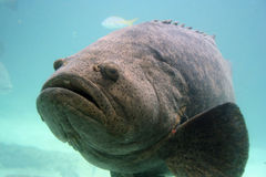 Grouper. Huge grouper in an aquarium royalty free stock photo