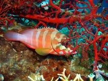 grouper Стоковая Фотография RF