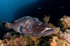 grouper Lizenzfreie Stockfotografie