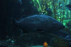 Grouper. Fish swimming between seaweeds Royalty Free Stock Photos