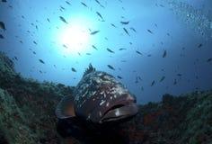 grouper Стоковые Изображения RF