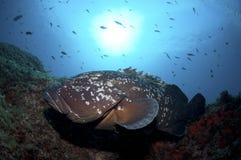 grouper Lizenzfreies Stockfoto