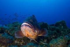 grouper Imagenes de archivo