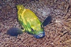 grouper Obrazy Royalty Free