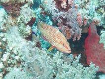 Grouper Stock Photos