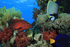 Grouper and Angelfish Royalty Free Stock Photo