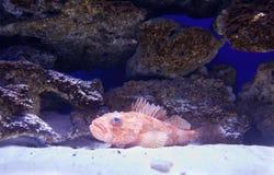 Grouper in aquarium Stock Photography