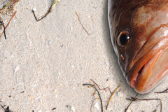 Grouper fish head on the beach Stock Images