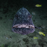 Grouper Being Cleaned Royalty Free Stock Photo