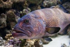 Grouper Royalty Free Stock Photo