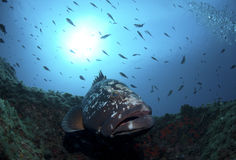 Grouper Royalty Free Stock Images