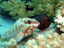 Grouper Blacktip Стоковое Фото