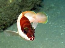 grouper blacktip Стоковое Изображение