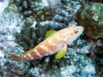 grouper blacktip Стоковое фото RF