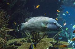 Grouper blue Royalty Free Stock Images