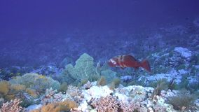 Grouper with Bluespine unicornfish on Elphinstone reef in Red sea. Egypt stock video