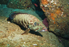 Grouper in a Cave Stock Photos