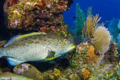 Grouper in Caymans Stock Photo