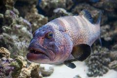 Grouper. Cephalopholis argus (peacock grouper) underwater portrait Stock Photography