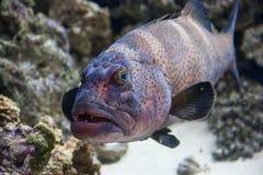 Grouper. Cephalopholis argus (peacock grouper) underwater portrait Royalty Free Stock Image