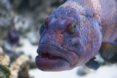 Grouper. Cephalopholis argus (peacock grouper) underwater portrait with opened mouth Stock Photo