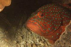 Grouper (Cephalopholis miniata) Stock Images