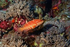Grouper - Cephalopholis miniata - Red Sea Royalty Free Stock Photography