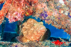 Grouper and cleaner wrasse. Stock Photo