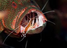 Grouper at cleaning station. Cleaning station with shrimp cleaning grouper Royalty Free Stock Photography