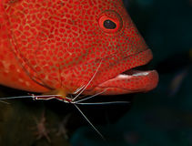 Grouper at cleaning station Stock Image